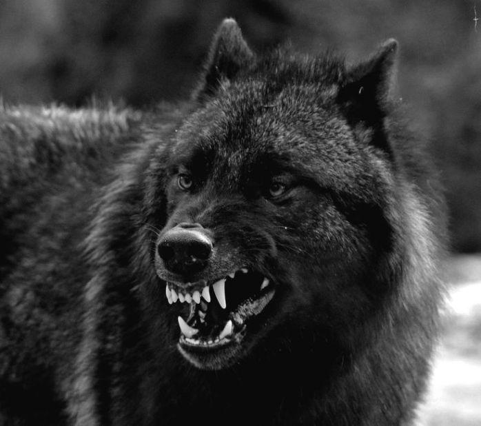 black-wolves-alpha-male
